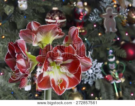 Closeup Of Red Amaryllis On Christmas Tree Background.