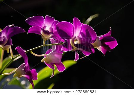 Blossom Purple Orchids With Dark Background