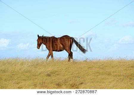 Wild Horse Walking On The Hill, Easter Island, Chile, South America