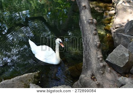White Swan On The Pond Near The Rocky Shore. Circles On The Water, A Tree With Growths On The Shore