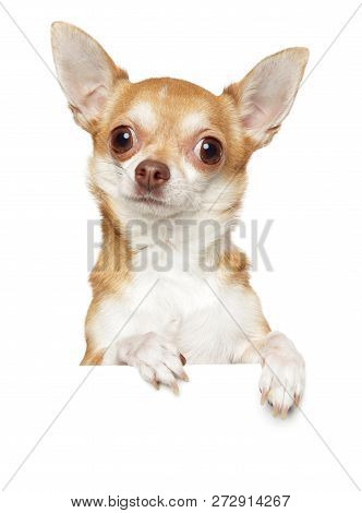 Chihuahua Dog Above Banner, Isolated On White Background. Animal Themes