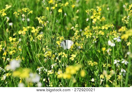 Rapeseed (brassica Napus), Rape, Oilseed Rape Is A Bright-yellow Flowering Member Of The Family Bras
