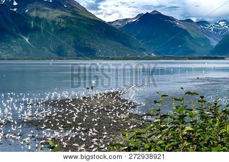 Hundreds Of Seagulls Gather At The Solomon Gulch Fish Weir In Valdez Alaska During The Salmon Run