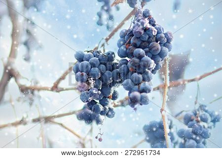 Ice Wine. Wine Red Grapes For Ice Wine In Winter Condition And Snow. Frozen Grapes Covered By White