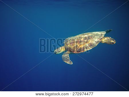 Marine Turtle In Ocean Waters. Coral Reef Animal Underwater Photo. Marine Tortoise Undersea. Green T