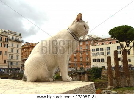 Cute White Cat Sitting On The Square Largo Di Torre Argentina. In The Ancient Roman Ruins On The Sit