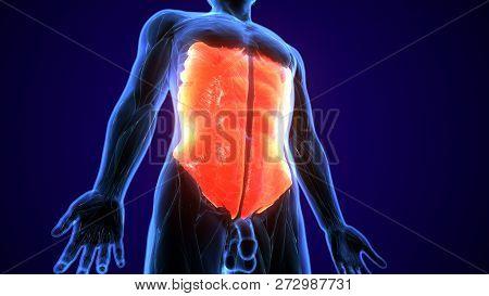 3d Illustration Of Latissimus Dorsi Part Of Muscle Anatomy.