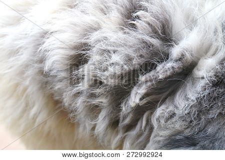 Hair The Dog Fur, Hair Fur Of The Dog Dirty, Dirty Wool Fur Of Dog, Texture Dirty Tangle Of Wool Fur