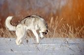 Gray dog purebred Siberian husky hunting mice standing on hind legs winter outdoor poster