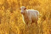 Lonely sheep in sunset light poster