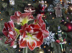 Closeup Of Red Amaryllis On Christmas Tree Background.