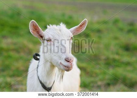 Funny Joyful Goat Grazing On A Green Grassy Lawn. Close Up Portrait Of A Funny Goat. Farm Animal. Th