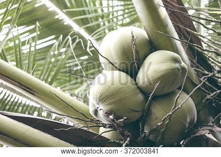 Ripe Coconut On Palm Tree Branch. Green Coconuts Vintage Toned Photo. Tropical Garden Harvest. Natur