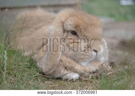 Sandy Netherlands Dwarf Lop Rabbit Lies Among Scrub Grass, Looking Dozily At The Camera.