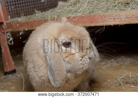 Pet Dwarf Lop Rabbit Turns Head To Look At Camera After Stepping Down From Hutch.