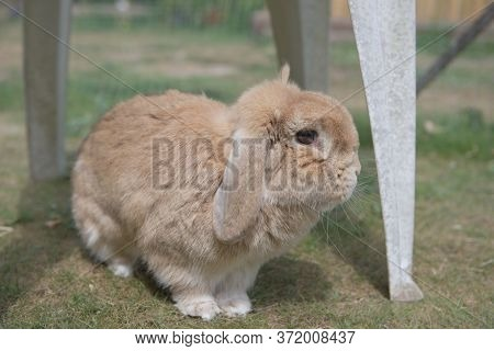 Very Cute Sandy Dwarf Lop Pet Rabbit Explores Garden Furniture Outdoors On Short Grass In Pen.