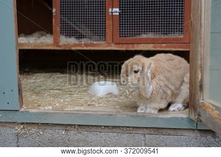 Closer In, Small Lop Ear Pet Rabbit Looks Out From Hutch Within A Shed.