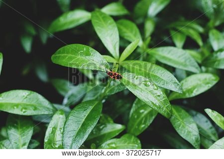 Natural Green Background. A Red Beetle Sits On The Wet Leaves Of A Periwinkle After Rain.