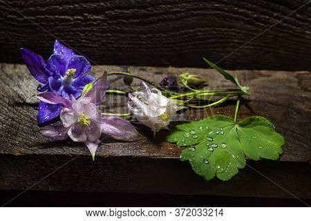 Beautiful Pink Aquilegia Flowers Lie In Water Drops On A Wooden Board. Aquilégia Vulgáris Of The But