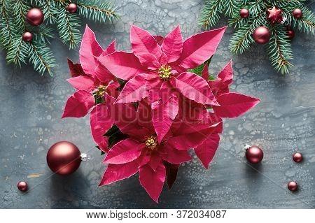 Vibrant Pink Poinsettia, Christmas Celebration, Flat Lay On Dark Liquid Acrylic Fluid Paint Backgrou