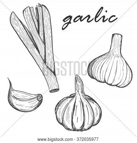 A Collection Of Garlic. Set Of Garlic Clove, Whole Head And Greens. For Menu Design, Recipes, And Co