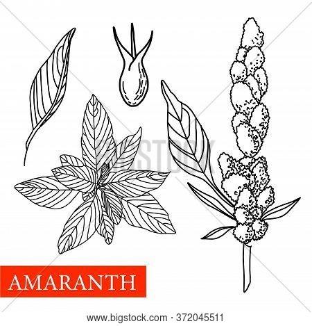 Amaranth Plant. Vector Botanical Illustration. Amaranth. Medical Plants.