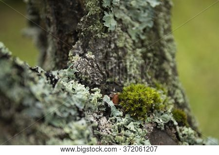 Green Moss And Lichen Closeup On Apple Tree