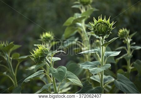 Young Sunflower Buds In Morning Sunlight In A Field