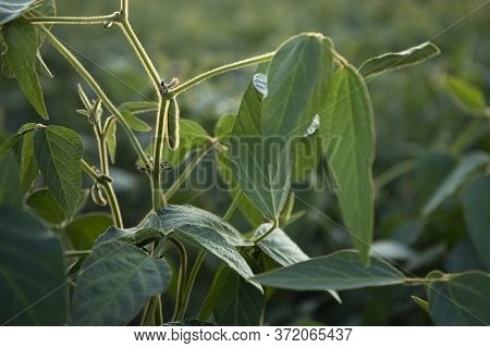 Close Up Of The Soy Bean Pods In The Field