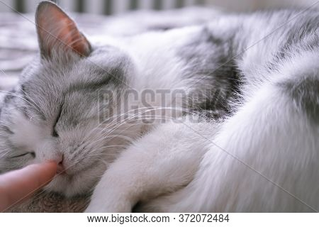The Owner Gently Touches The Sleeping Cat By The Nose. Beautiful British Cat Sleeps In Bed Curled Up