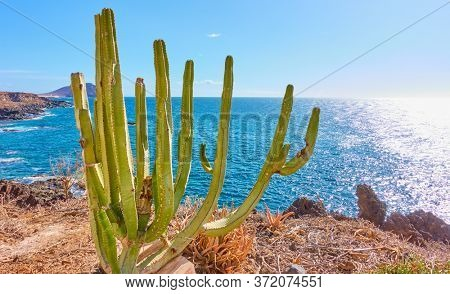 The Canary Island spurge (Euphorbia canariensis) on the cost by  the ocean in Tenerife, The Canaries
