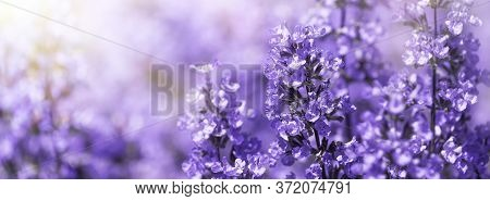 Panorama Purple Flowers Of Salvia Field Blur Summer Background. Shallow Dof