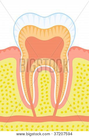 An illustration of an internal structure of tooth. poster