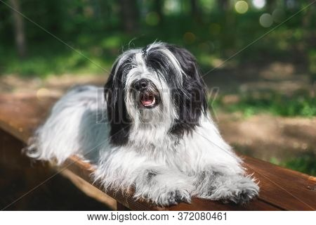 Beautiful Tibetan Terrier Dog Resting On Wooden Bench In Nature, Selective Focus, Copy Space