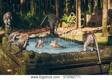 Monkey Pool In Bukit Sari Temple, Sangeh Monkey Forest, Bali, Indonesia