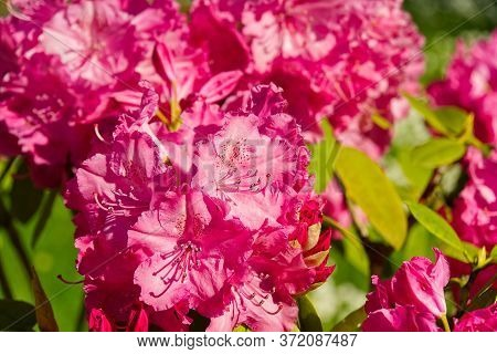 Rhododendron Blooming Flowers In The Spring Garden. Pacific Rhododendron Or California Rosebay Everg
