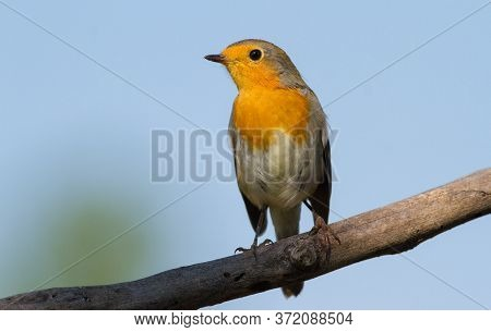 European Robin, Erithacus Rubecula. The Bird Sits On An Old Dry Branch Against The Sky.