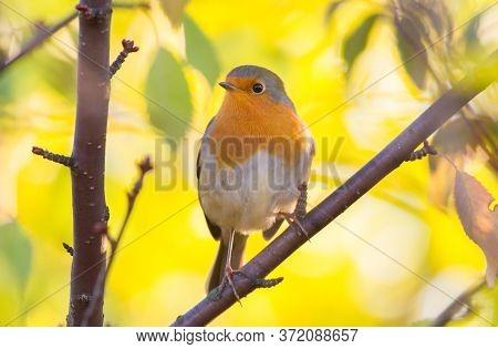 European Robin, Erithacus Rubecula. Sunny Autumn Morning. The Bird Sits On A Branch.