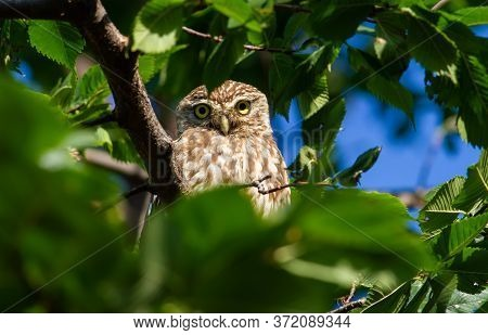 Little Owl, Athene Noctua. The Bird Hid In The Branches Of A Tree