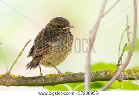 European Stonechat, Saxicola Rubicola. A Very Young Chick Is Sitting On A Tree Branch, Waiting For P