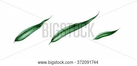 Willow Leaves Watercolor Illustration Set. Hand Painted Close Up Single Leaf Objects. Perfect Elemen