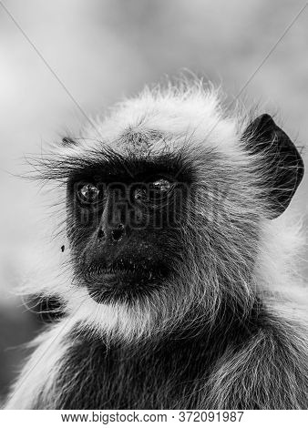 Black And White Portrait Of Gray Langurs Or Hanuman Langurs Or Indian Langur Or Monkey At Ranthambor