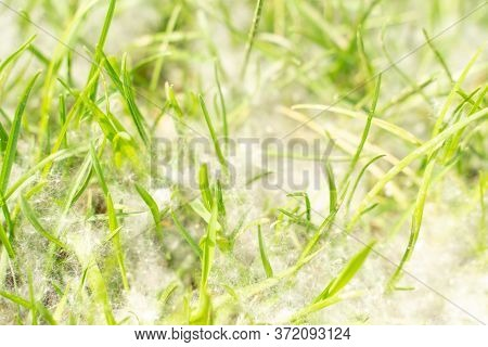 Poplar Fluff On Green Grass. Green Grass Texture