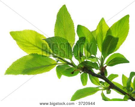 Tree Branch With Green Leaves Isolated