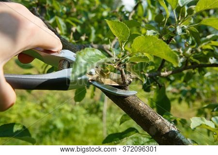Seasonal Pruning By Pruners Of Young Fruit Trees In The Garden