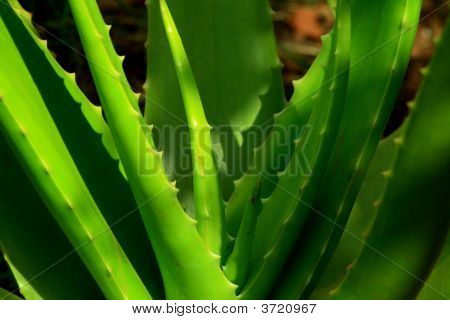 schöne Aloe Vera-Pflanze