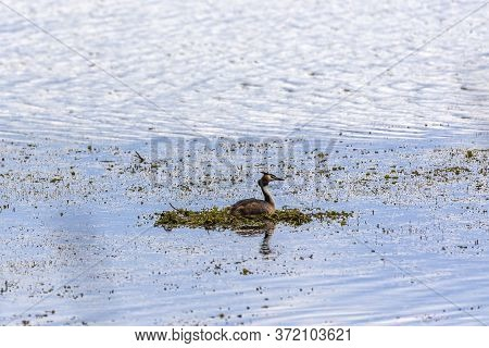Great Crested Grebe (podiceps Cristatus) On The Nest