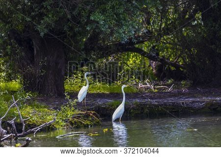 Great Egret In A Pond With Water Lilies Also Known As The Common Egret, Large Egret Or Great White E