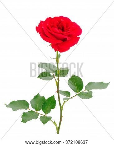 Red Beautiful Roses Isolated On White Background.
