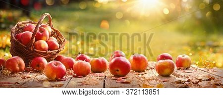 Apples in a Basket Outdoor. Sunny Background. Autumn Garden